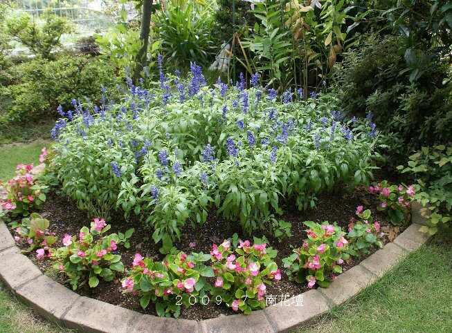 南花壇のブルーサルビア.jpg